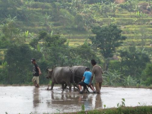 Jakarta rice field, Jakarta field trip, Jakarta cow