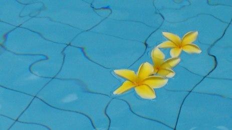 Frangipani; bali flower, jakarta flower