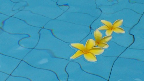 swimming pool flower, frangipani, indonesia flower in swimming pool