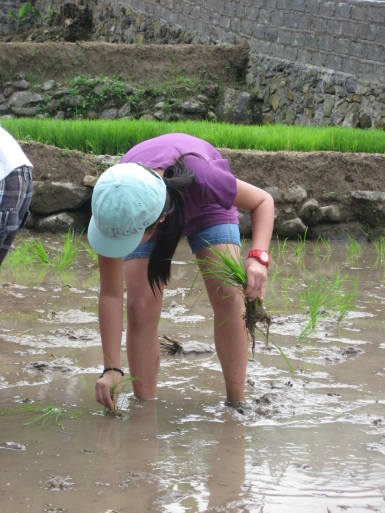 planting rice in Bogar, Jakarta