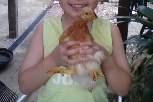 free range chicken, pet chicken, facts chicken, chicken free range, egg free range, free range egg