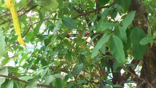 tropical fruit, jakarta fruit