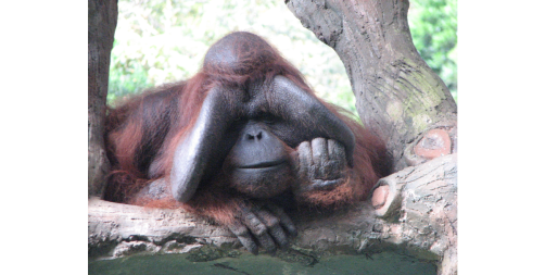 monkey, zoo, jakarta zoo, joke, Orangutan, taman safari