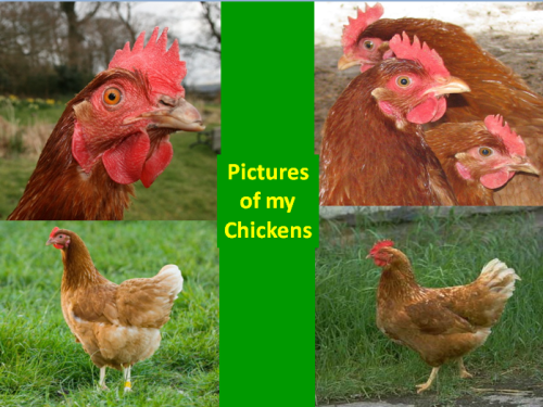 organic eggs, best organic eggs, free range eggs, chicken, pets, raising chicken as pets, sydney chicken