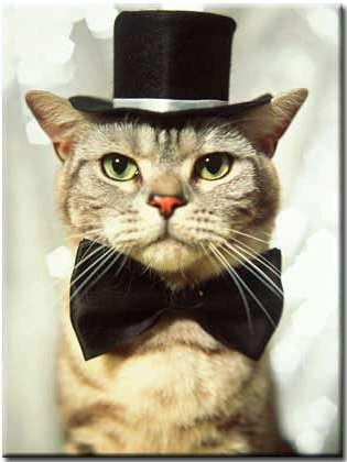 cat serious with black hat